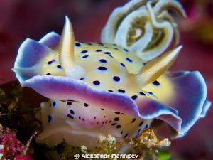 Chromodoris kuniei
