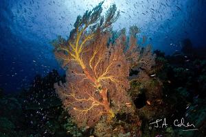 Sea Fan by Julian Cohen