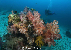 soft corals, Cabilao by Geoff Spiby