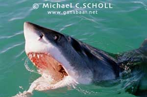 Great White Shark, Dyer Island, Gansbaai, South Africa, C... by Michael C.SCHOLL