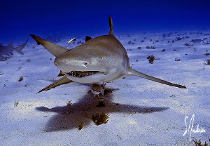 This image of a Lemon Shark was taken during a dive at Ti... by Steven Anderson
