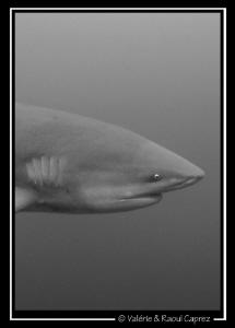 The perfect head of the Zambezi shark. by Raoul Caprez
