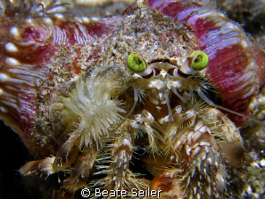 HermitCrab with sea anemones, taken with Canon S70 and UC... by Beate Seiler