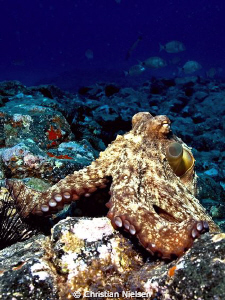 Friendly octopus posing.