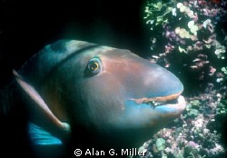 Parrotfish just before bed. Night dive in the coral sea, ... by Alan G. Miller