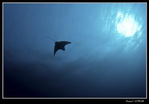 Eagle ray (...) :-D by Daniel Strub
