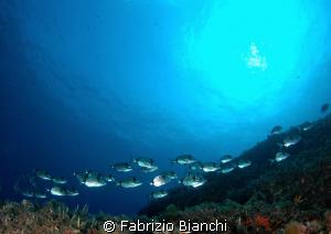 Parco marino di Portofino, secca Carega Saraghi by Fabrizio Bianchi