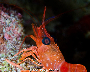 Night dive shot of a large shrimp.  A few inches in lengt... by Larissa Roorda