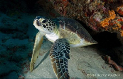 A small hawksbill sea turtle admires himself in the dome ... by Becky Kagan