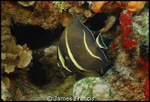 These beautiful fish are Gray Angels just before the adul... by James Francis