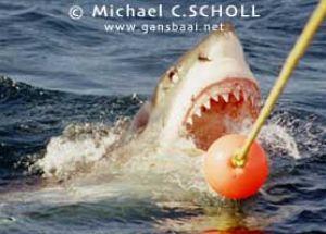 Great White Shark, Dyer Island, Gansbaai, South Africa, C... by Michael C.SCHOLL