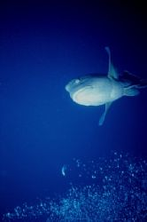 Caught this one homing in on a night dive in the Red Sea!... by Ed Burford