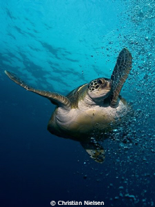 Bubble collision !! The turtle actually liked bubbles an... by Christian Nielsen