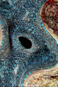 Grat Barrier Reef Giant Clam by Fabrizio Bianchi