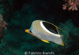 Great Barrier Reef Butterfly fish by Fabrizio Bianchi