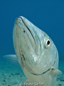 """Curious Barracuda """"Hansi"""" , taken with Canon G10 by Beate Seiler"""