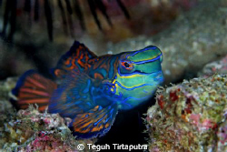 the gorgeous mandarin fish...Canon EOS 400D, Sea and Sea ... by Teguh Tirtaputra