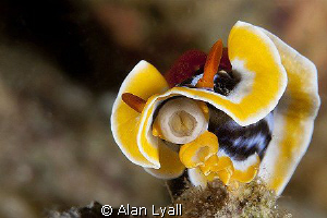 Hi there... chromodoris magnifica by Alan Lyall