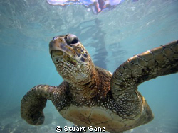 Green Sea Turtle - eyeing me by Stuart Ganz