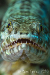 Lizard Fish.  Canon 7D, 100mm macro. by Ryan Pedlow