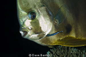 batfish with cleaner by Dave Baxter