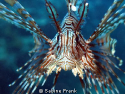 This Lionfish was quite interested in the camera and gave... by Sabine Frank