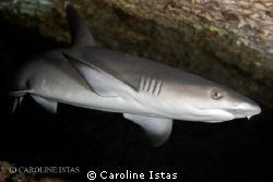 White tip Shark by Caroline Istas