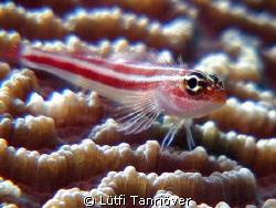 Hello... A tiny goby on the coral by Lütfi Tanrıöver