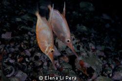 Trombetta/ Pesci che prediligono le profondità , ma che a... by Elena Li Pera