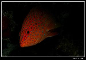 Diamond grouper :-) by Daniel Strub