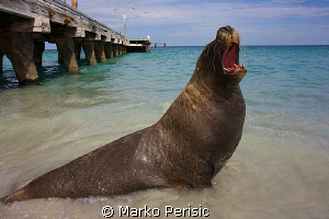 Ammo Jetty resident Australian Sea Lion. by Marko Perisic