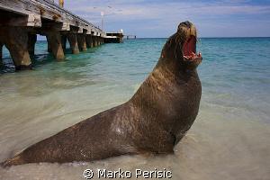 Ammo Jetty resident Australian Sea Lion. by Marko Perisic