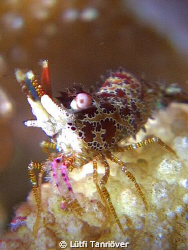 Hello.. A marble shrimp.... by Lütfi Tanrıöver