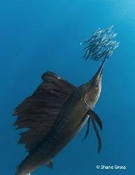 Sailfish feast by Shane Gross