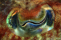 THE EYE. Eye of a cuttle fish. I found this girl putting ... by Arthur Telle Thiemann