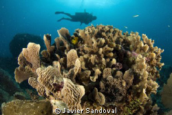 Akumal reef and diver, great and well preserve coral form... by Javier Sandoval