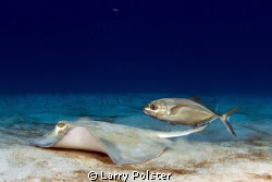 Bar jack waiting for a meal over the ray's shoulder. St. ... by Larry Polster