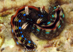 Thurdilla gracilis love!!! by Eric Fly