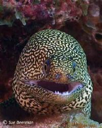 Goldentail Moray Eel in Bonaire by Susan Beerman