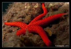 Sea star @ Calvi in Corsica (Echinaster sepositus) by Christophe Warpelin