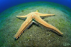 Comb seastar, Lanzarote, Canary Islands by Arthur Telle Thiemann