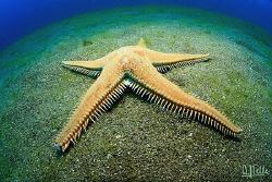 Comb seastar, Lanzarote, Canary Islands by Arthur Telle Thiemann