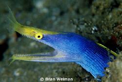 Blue Ribbon Eel by Brian Welman