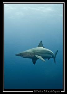 A Black tip shark's apparition. Nice encounter ! by Raoul Caprez