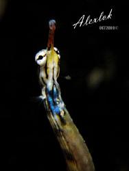Night dive at Mabul island, Sabah. Pipefish everywhere, p... by Alex Lok