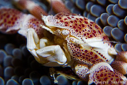 Crab Portrait by Sangut Santoso