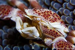 Crab Portrait by Sangut Santoso