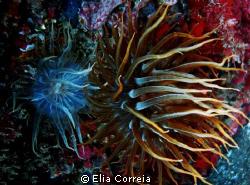 Anemones! by Elia Correia