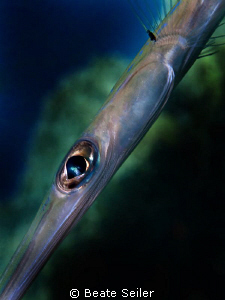 Trumpet Fish, Taken with Canon G10 and UCL165 by Beate Seiler