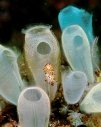 Nudibranch on tunicates, sulawesi indonesia. by Allen Ayling